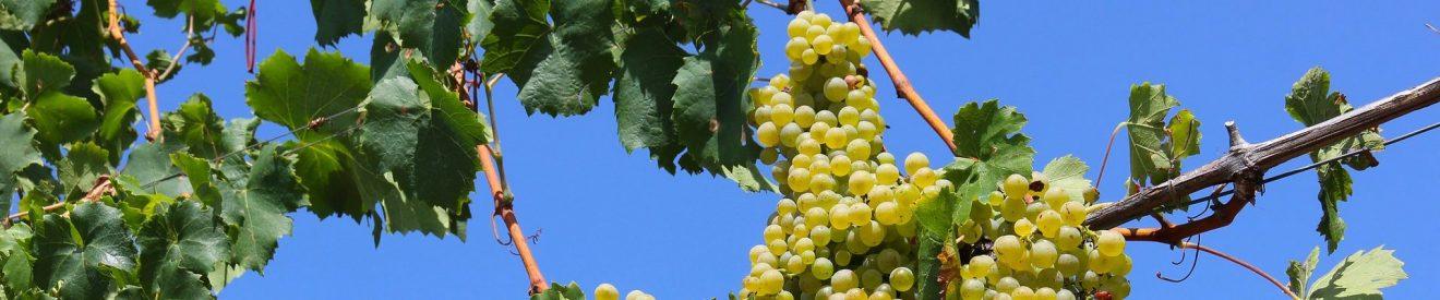 Strihanie viniča začína po Troch kráľoch