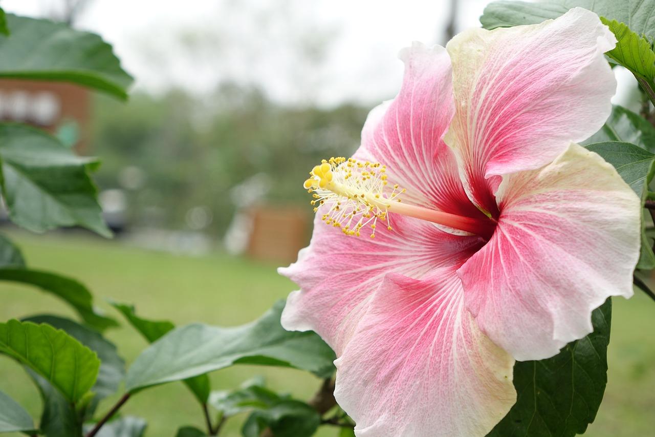 Pre bohaté kvitnutie čínskej ruže