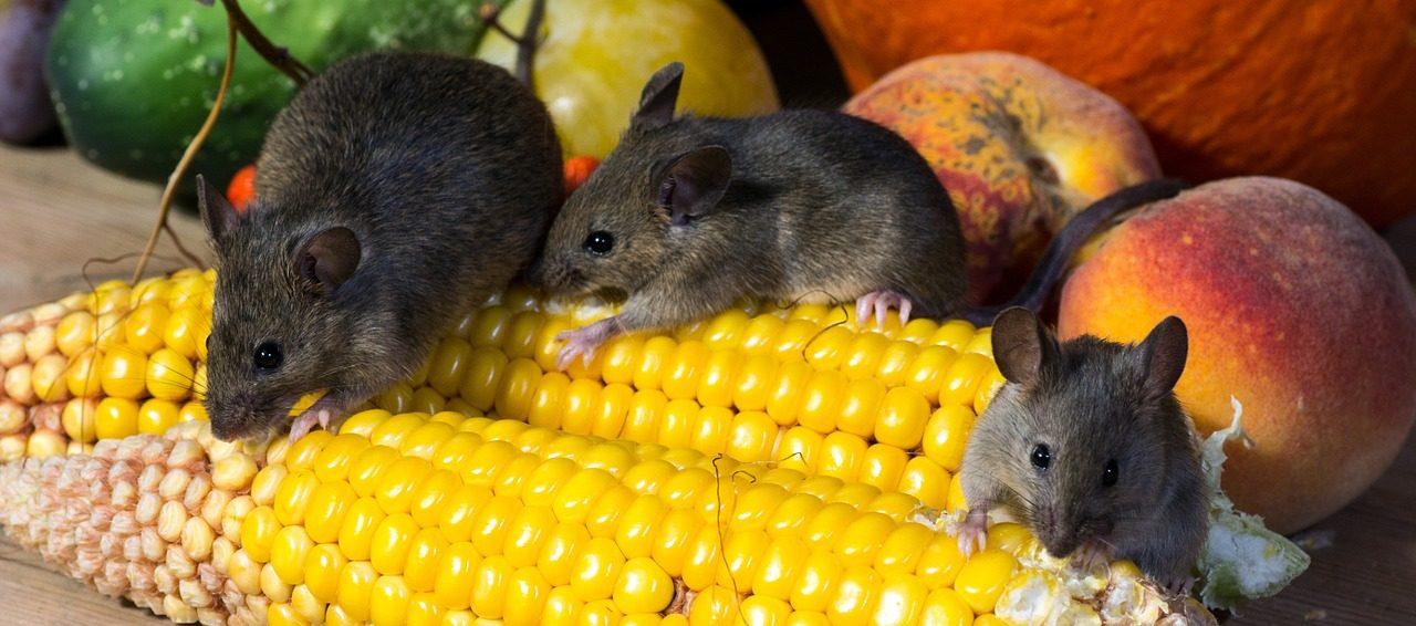 Na myši s lepidlom