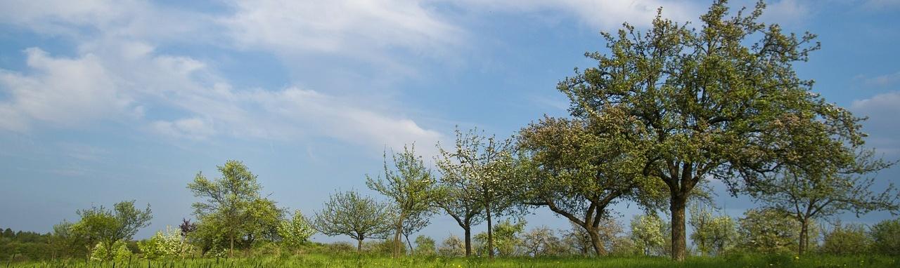Presádzanie starších stromov