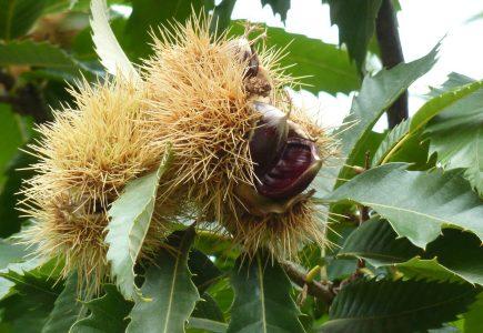 Gaštany a orechy zo stromov nezrážame