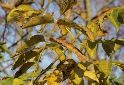 Ako využiť orechové lístie v záhrade