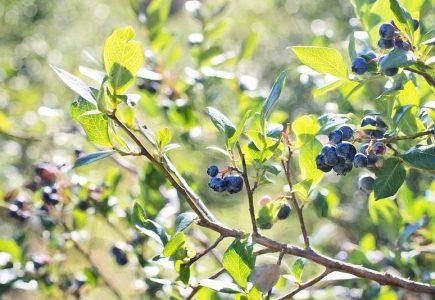 Ako pestovať kanadské čučoriedky a vyrobiť z nich domáce víno